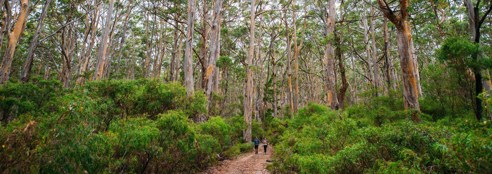 tall tree forest Margaret River region South Western Australia